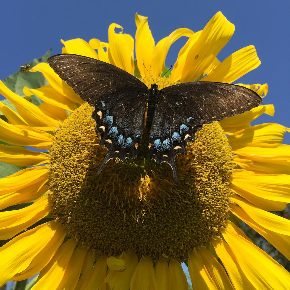 sunflower-w-swallowtail